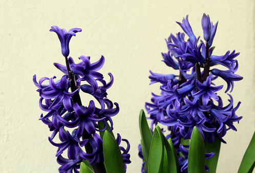 Hyacinth, Hyacinths, Spring Flowers, Spring, March