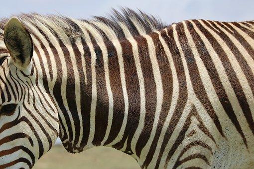 Zebra, Mountain Zebra, Africa, Nature, Stripes