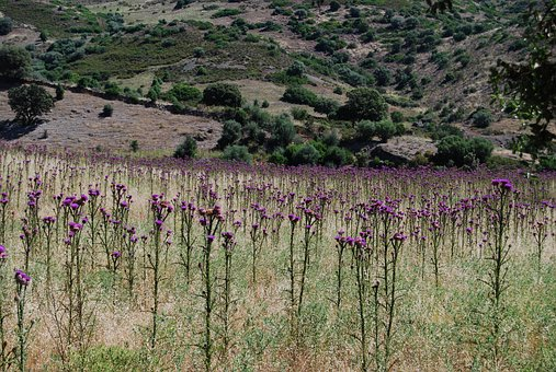 Thistle Field, Corsica, Loneliness, Rest, Nature