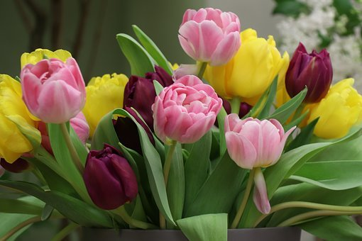 Tulips, Tulip, Colorful, Flowers, Flower, Spring