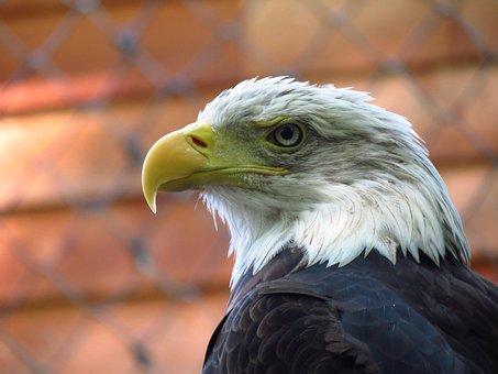 Adler, Raptor, Nature, Wildlife Park, Pride