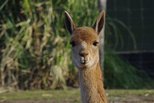 Lama, Alpaca, Fluffy, Animal, Wool, Peru, Fur, Head