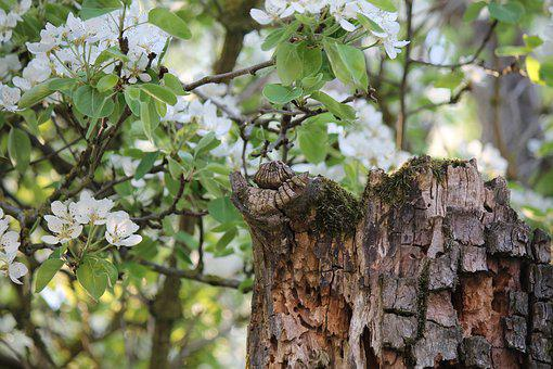 Spring, Pear, Pear Blossom, Dead Wood, Young And Old