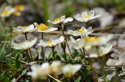 Mountain Avens, Alpine Flower, Alpine Plant, Blossom