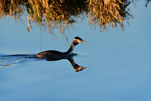 Great Crested Grebe, Water Bird, Animal, Swimming