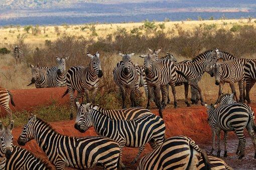 Africa, Kenya, Zebra, Safari, Animal World, Wild