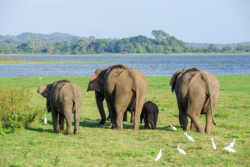Elephant, Asian Elephant, Sri Lankan Elephant