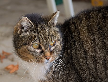 Domestic Cat, Portrait, Head, Cat, Attention, Eyes