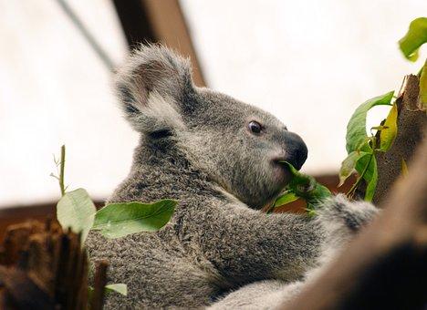 Koala, Australia, Animal, Nature, Marsupial, Bear