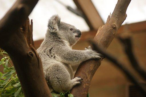 Koala, Marsupial, Animal, Australia, Mammal, Australian