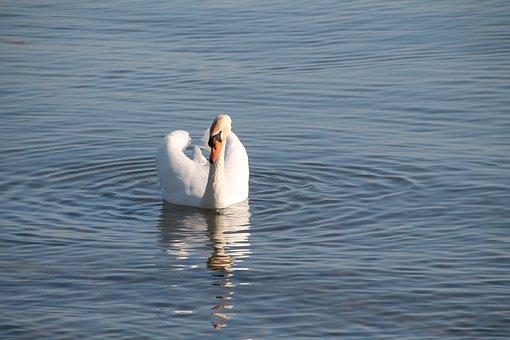 Swan, Water, Lake, Bird, Nature, Swim, Pride