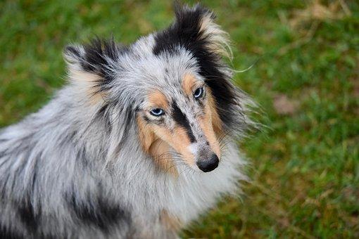 Dog, Bitch, Bitch Shetland Sheepdog