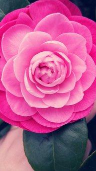Camellia, Flower, Rosa