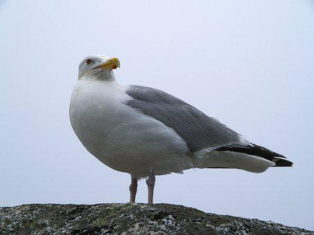Seagull, Peggy's Cove, Ns, Canada, Seabird, Bird