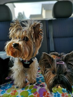 Dogs, Yorkshire Terrier, Back Seat, Car, Travelling