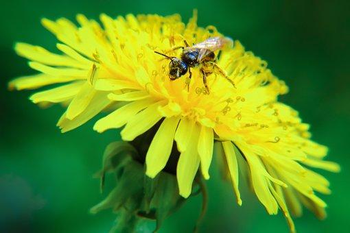 Flower, Springtime, Dandelion, Nature, Outdoors
