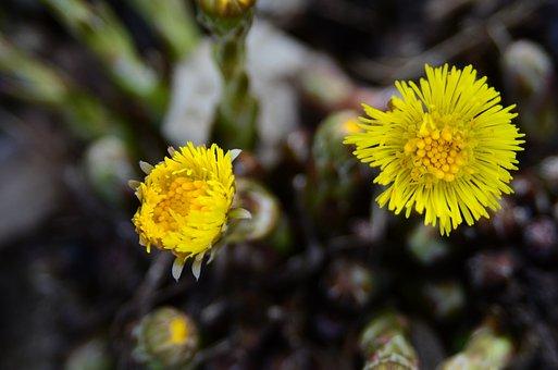 Tussilago Farfara, Early Spring, Flower, March, Yellow