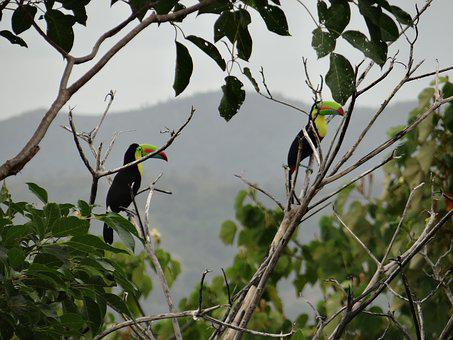 Toucan, Branches, Bi, Bird, Colorful, Beak, Exotic