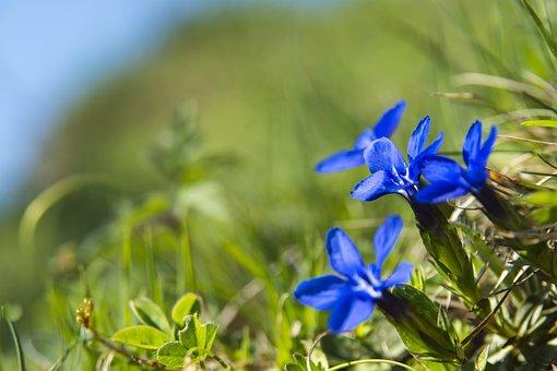 Gentian, Blossom, Bloom, Flower, Blue, Alpine Flower