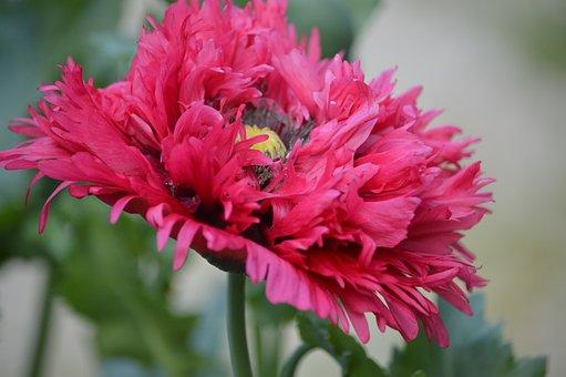 Poppy, Flower, Nature