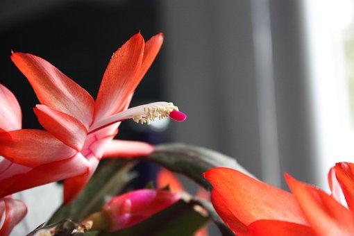 Cactus, Flowers, Epiphyllum Hybrid, Plants, Botany