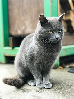 Cat, Animal, Gray Cat, Green, Cute, Pet, Fur, Grey