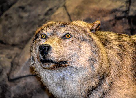Wolf, Head, Predator, Animal, Wild, Nature, Mammal