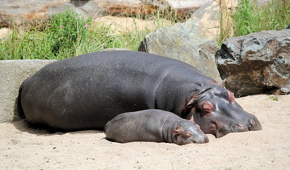 Hippos, Hippo, Cub, Mother, Pachyderm, A Pair Of