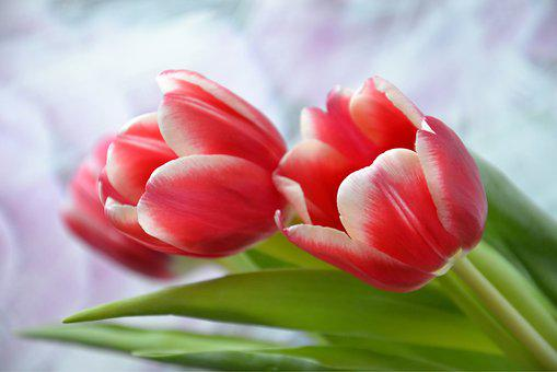 Flowers, Tulips, Holiday, Spring, Nature, March 8