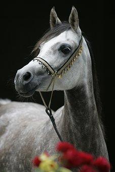 Exquisite, Kalahari, Arabian, Mare