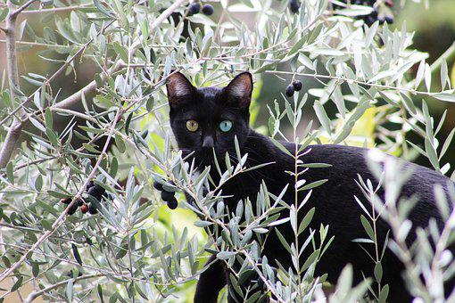 Cat, Black, Salem, Feline, Kitten, Olive, Mediterranean