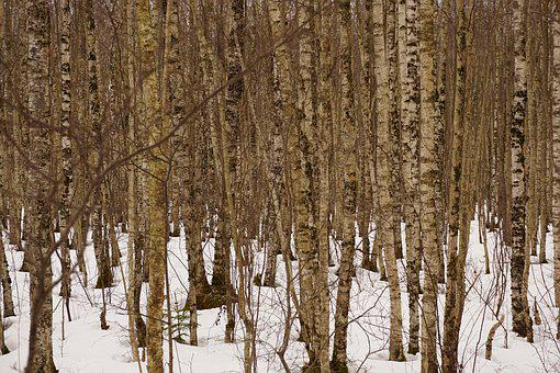 Birches, Forest, Winter, Landscape, Trees, Outdoor