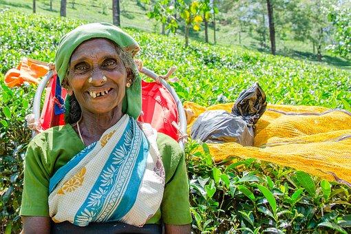 Tea Picking Lady, Tea Leaves, Job, Nuwara Eliya