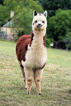 Lama, Alpaca, Animal, Mammal, Fur, Peruvian, Tame