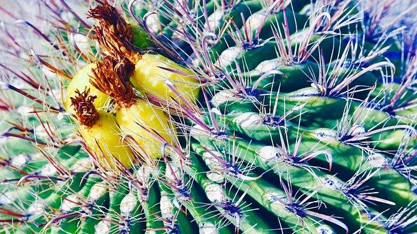 Cactus, Desert, Plant, Prickly, Succulent, Arizona