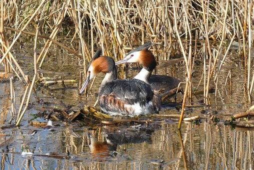 Grebe, Nest Building, Ditch, Spring, Branches, Reed