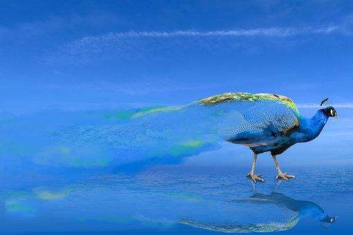 Background, Animal World, Bird, Peacock, Blue, Smoke