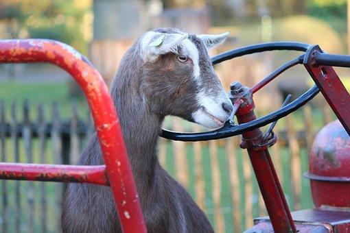 Goat, Tractor, Farm, Steering Wheel, Domestic Goat