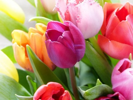 Tulips, Tulip Bouquet, Colorful, Fresh, Bouquet, Spring