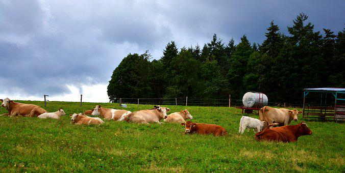 Pasture, Cows, Agriculture, Animal, Farm, Cattle