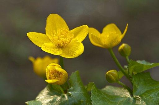 Caltha Palustris, Caltha, Blossom, Bloom, Yellow, Water