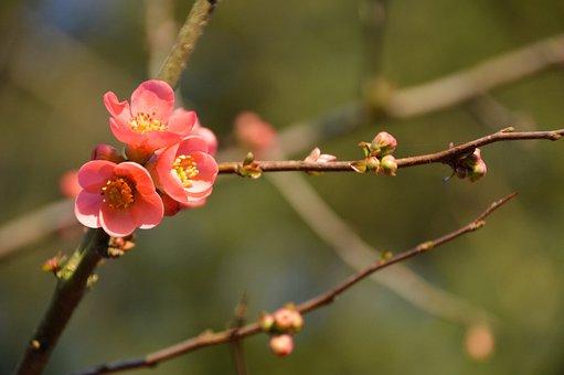 Quince, Japan, Spring, Nature, Flower, Botany, Flora