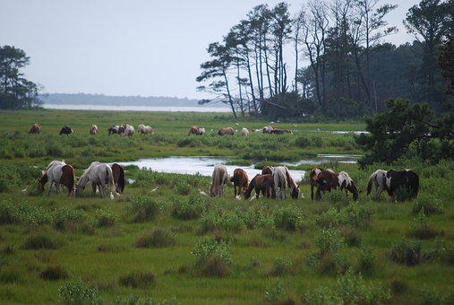 Chincoteague Island, Wild Ponies, Grazing