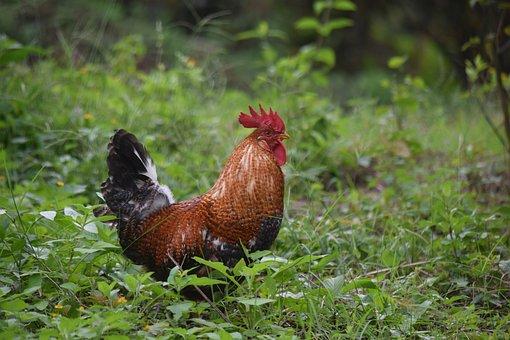 Gallo, Ave, Animals, Chicken, Farm, Pen, Crest