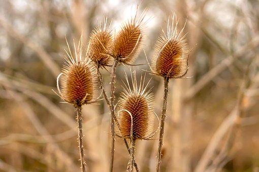 Stalk, Szamárkóró, Dry, Stem, Field, Flower, Flora