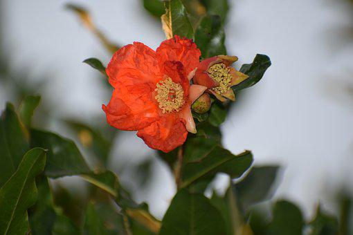 Flower, Pomegranate, Nature, Tree, Fruit, Bloom, Orange