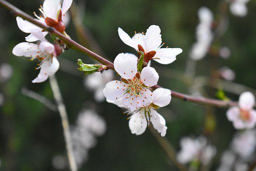 Flower, The Summer Palace, Spring, Cherry Blossom