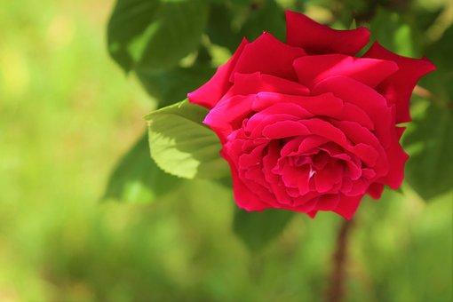 Rose, Spring, Flower, Nature, Love, Romantic, Plant