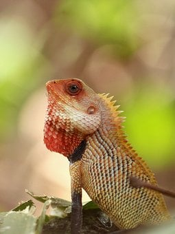 Oriental Garden Lizard, Lizard, Garden, Chameleon, Male