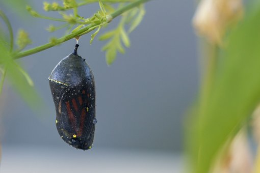 Butterfly, Nature, Insect, Cocoon, Monarch, Wings